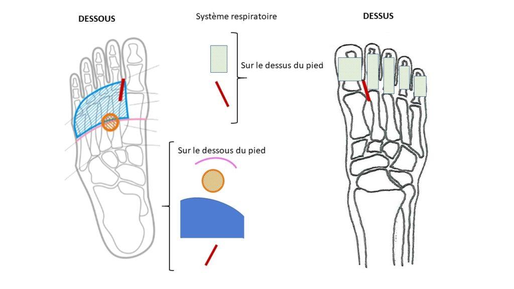 Réflexologie cartes système respiratoire simple