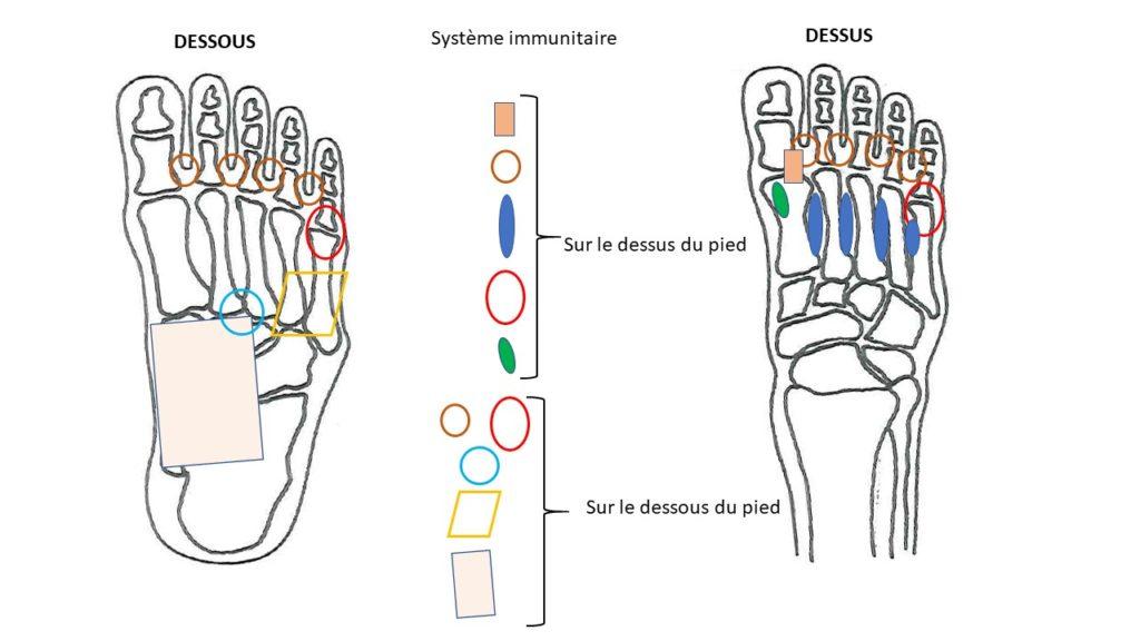 zones réflexes système immunitaire
