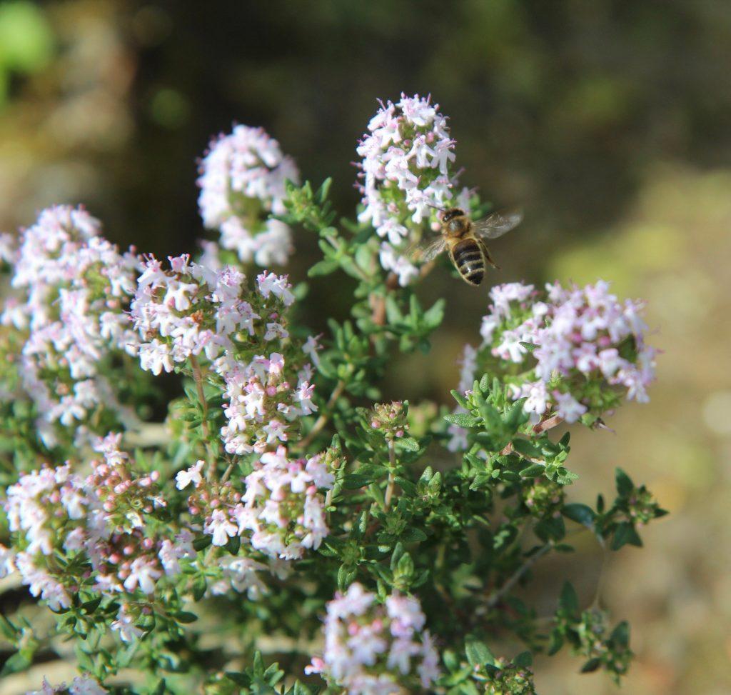 aromathérapie-thym