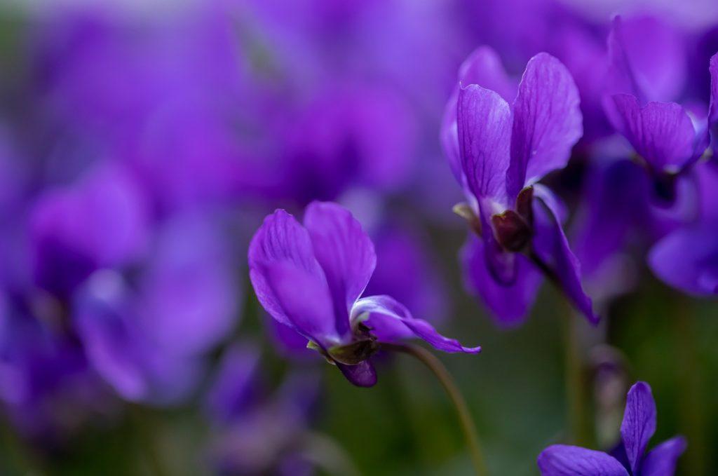 printemps violettes
